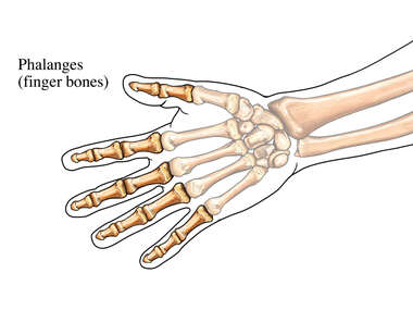 The Phalanges of the Hand