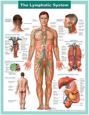 Anatomy of the Lymphatic System