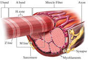 Muscle Fiber (Cell)