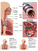 Anatomy of the Respiratory System