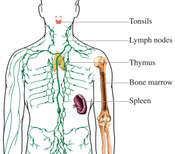 Lymphatic Organs