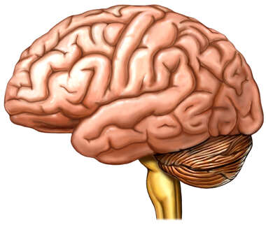 Brain, Lateral View