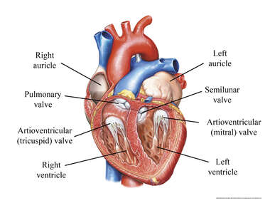 Heart with Valves