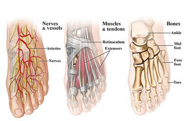 Anatomy of the Foot and Ankle-Dorsal View