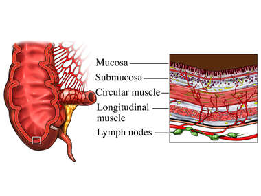 Healthy Colon in Cross-Section