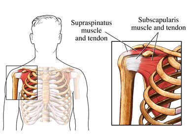 Subscapularis Muscle and Tendon