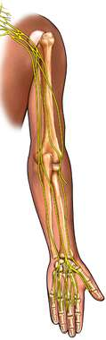 Bones and Nerves of the Arm: Posterior View