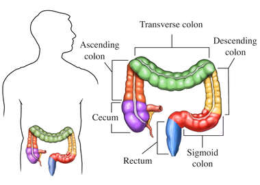 Anatomy of the Colon