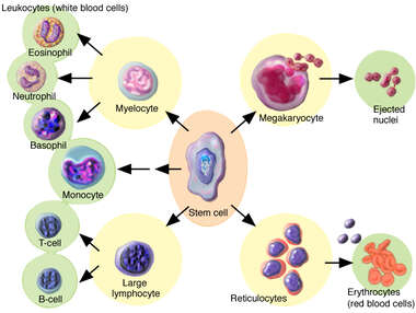 Stem Cell Differentiation and Hematopoesis