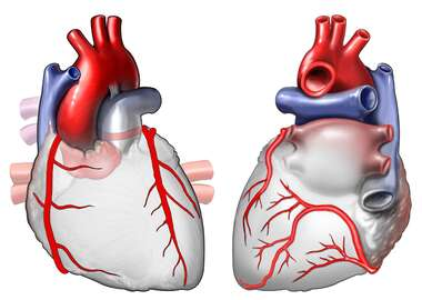 Heart Anatomy - Coronary Arteries