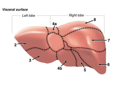 Segments of the Liver - Posterior View