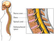 Cervical Spine: Sagittal Cut-away View