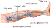 Veins of the Leg: Potential Sites For Deep Vein Thrombosis