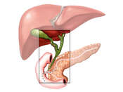 Pancreatic Bile Ducts