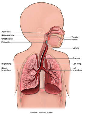 Respiratory System of a Child