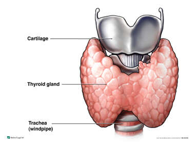 The Thyroid and Parathyroid Glands: Anterior (Front) View
