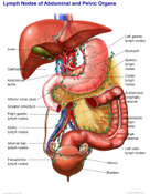 Lymph Nodes of the Abdominal and Pelvic Organs