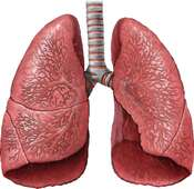 Lungs with Trachea and Bronchi: Anterior View