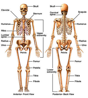 Anterior and Posterior Views of the Skeleton
