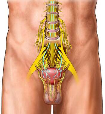 Nerves of the Bladder