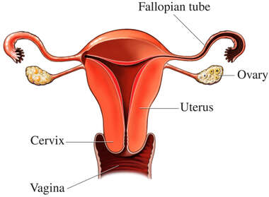 Female Reproductive System Organs