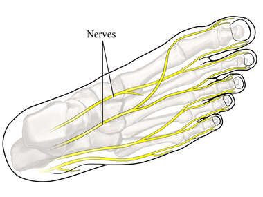 Nerves of the Foot: Dorsal View