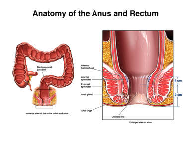 Anatomy of the Rectum and Anus