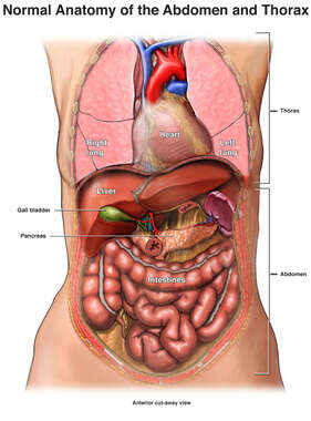 Normal Anatomy of the Abdomen and Thorax