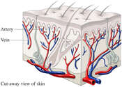 Blood Vessels of the Dermis