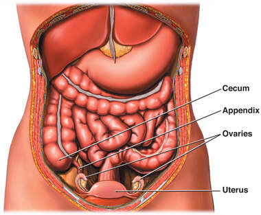 Anatomy of the Female Abdomen