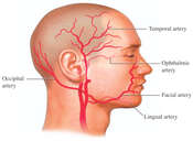 Arteries of the Head