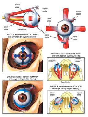 Anatomy and Function of the Eye Muscles