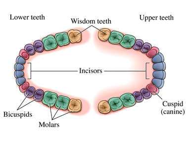 Secondary Teeth