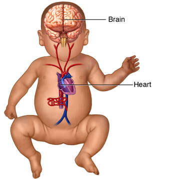 Figure of a Baby with Brain and Heart