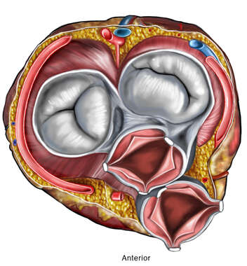 Heart Valves: Superior View