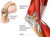 Medial Musculature of the Knee Joint