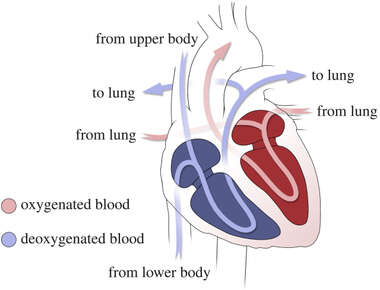 Blood Flow Through Heart