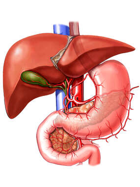 Anatomy of the Liver, Gallbladder, Pancreas and Stomach
