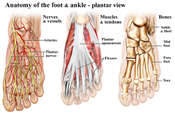 Anatomy of the Foot and Ankle-Plantar View