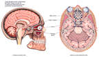 Anatomy of the Brain Before Removal of Pituitary Tumor