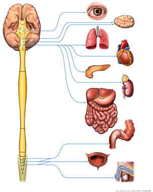 The Parasympathetic Nervous System