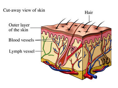 Blood and Lymph Vessels of the Dermis