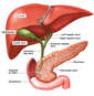 Anatomy of the Hepatic and Pancreatic Ducts