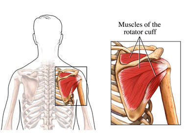 The Rotator Cuff: Posterior (Back) View