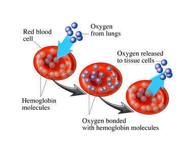 Red Blood Cell (RBC) and Hemoglobin
